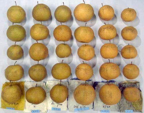 봉지종류별 수확후 미세상처에 의한 과피변색 정도