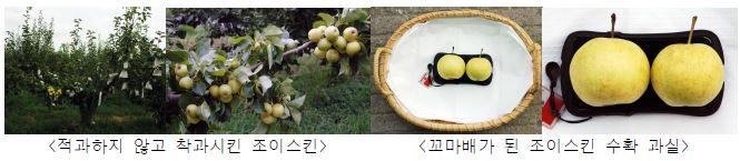 조이스킨의 무적과를 통한 꼬마배 생산 및 수확과실 모습
