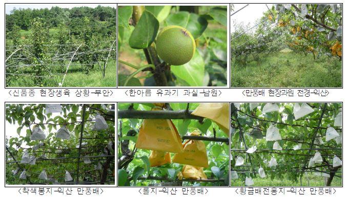 배 신품종 실증재배 농가 과원