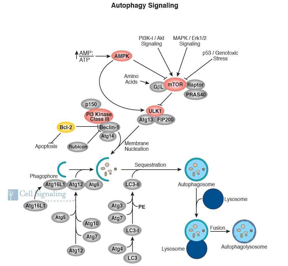 Autophagy Signaling