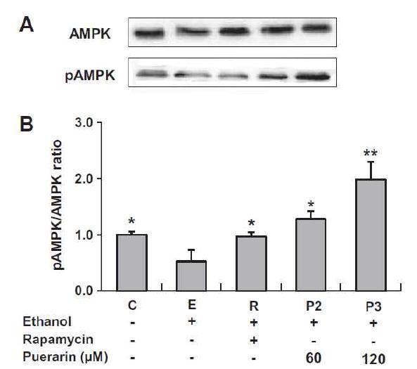 Puerarin의 AMPK 인산화 능력