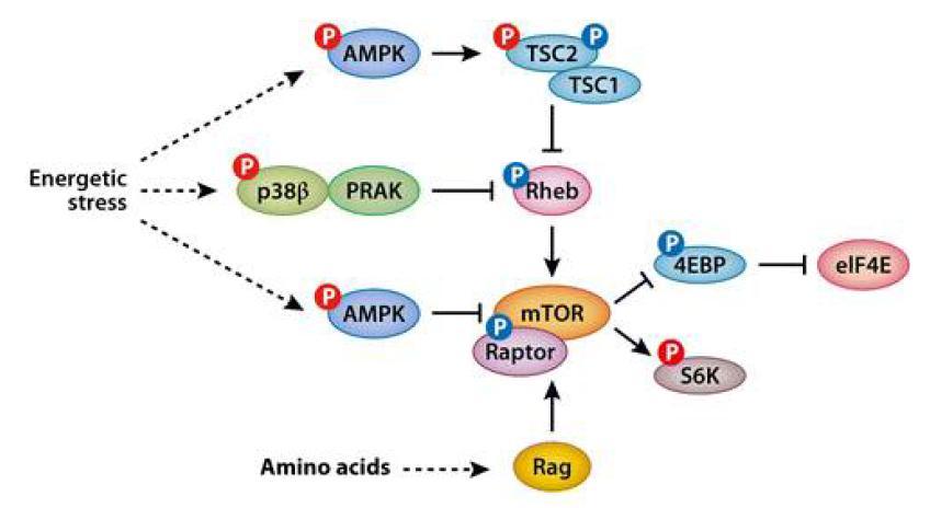 mTOR signaling과 AMPK의 관계