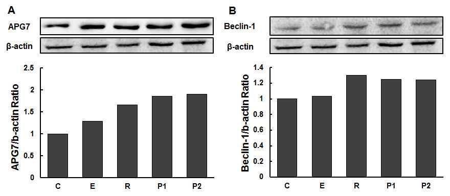 β-actin을 사용한 APG7과 Beclin-1 정량
