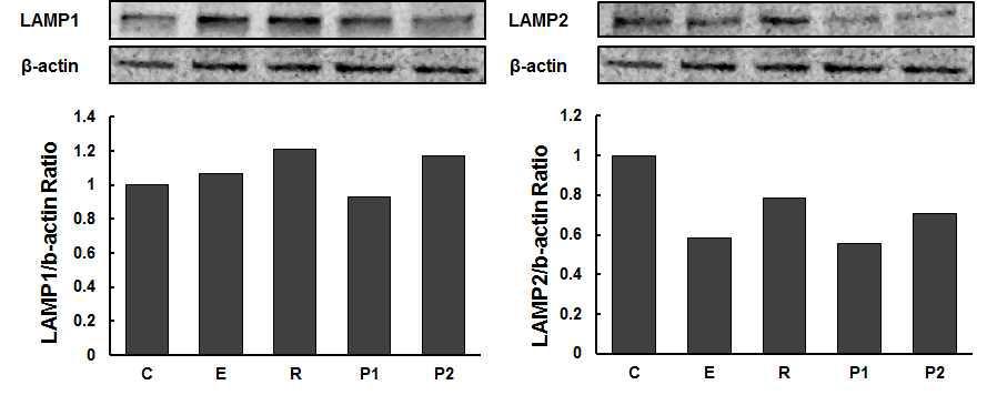 LAMP1과 LAMP2를 b-actin으로 정량한 그래프