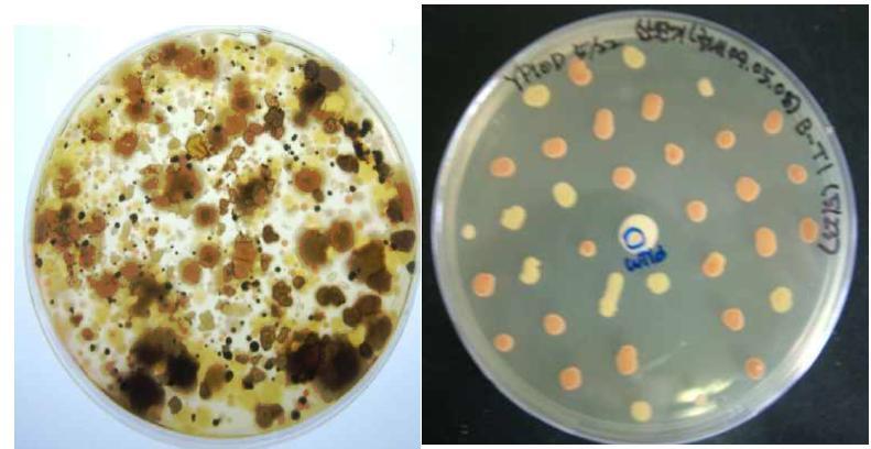 곰팡이와 효모가 섞여있는 배지(좌)와 분리 배양한 효모균주(우)