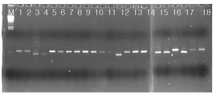 분리 효모균주의 26S rRNA 부위 PCR 증폭