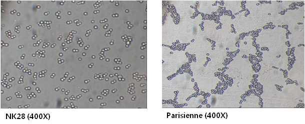 효모균주들의 세포관찰