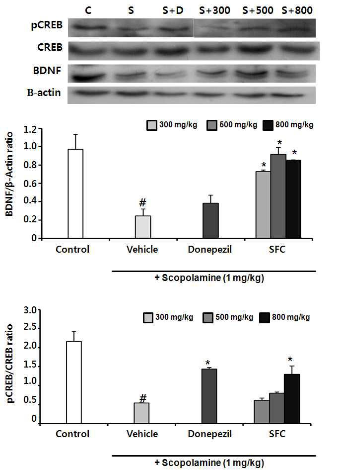 The proton levels of BDNF and pCREB in hippocampus. Control group (C 0.5% CMC (10 mL/kg body weight, P.O.), scopolamine group (S 1 mg/kg body weight, S.C.), donepezil group (S+D 1 mg/kg body weight, P.O.), and steamed and fermented C. lanceolata group (S+300, S+500 and S+800 300, 500 and 800 mg/kg body weight, P.O. treated 1 h before scopolamine administration). (n=5 per group; #p<0.05, ##p<0.01 and ###p<0.001 versus the control group *p < 0.05, **p < 0.01, and ***p < 0.001 versus the scopolamine group). SFC: steamed and fermented C. lanceolata