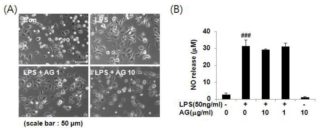 LPS로 자극된 primary 신경교세포에서 수검초추출물의 형태학적 변화 효능 (A) 및 수검초추출물 의 NO 저해능 (B)