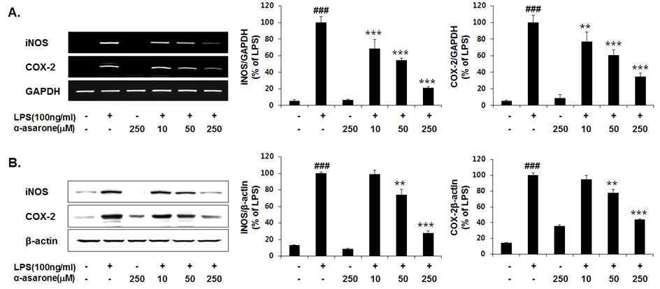 LPS로 자극된 BV-2 신경교세포에서 iNOS, COX-2의 유전자 및 단백질 단계에서의 α-asarone 농도에 따른 저해 효능