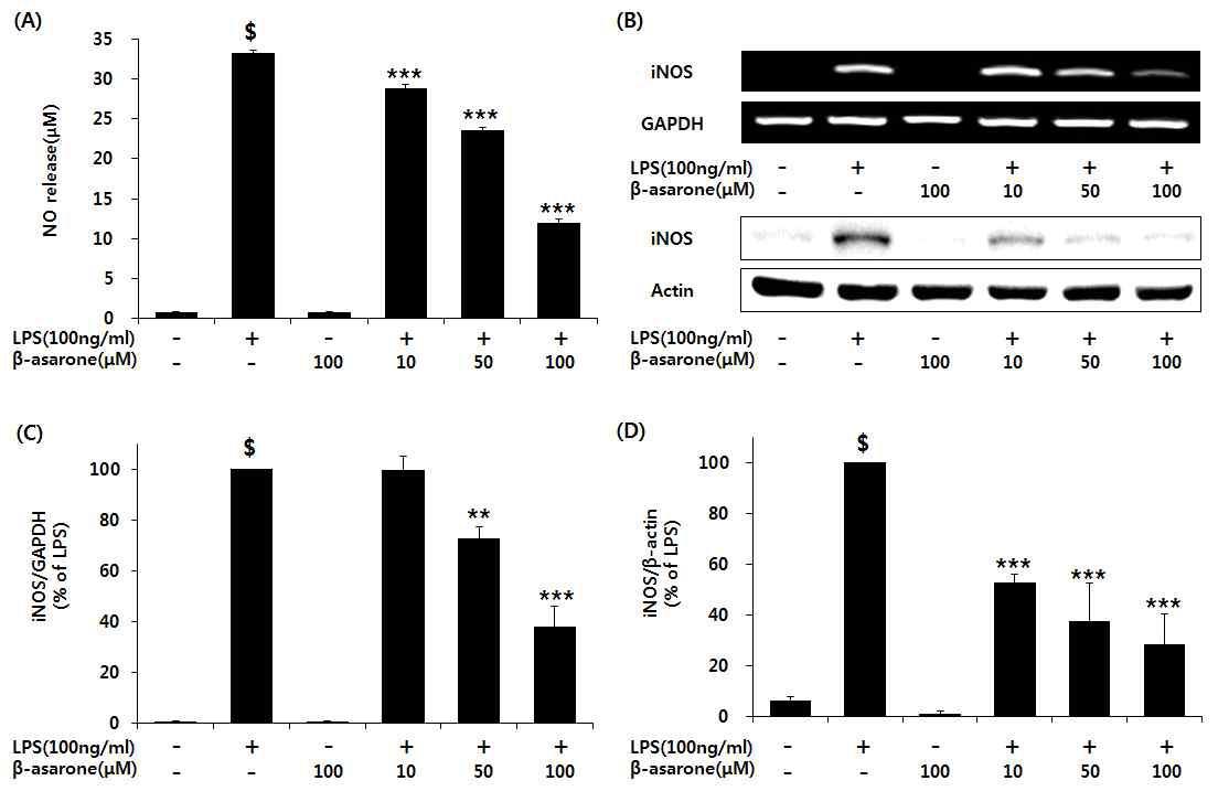 β-asarone의 NO의 방출과, iNOS의 유전자 및 단백질 발현에서 저해 효능