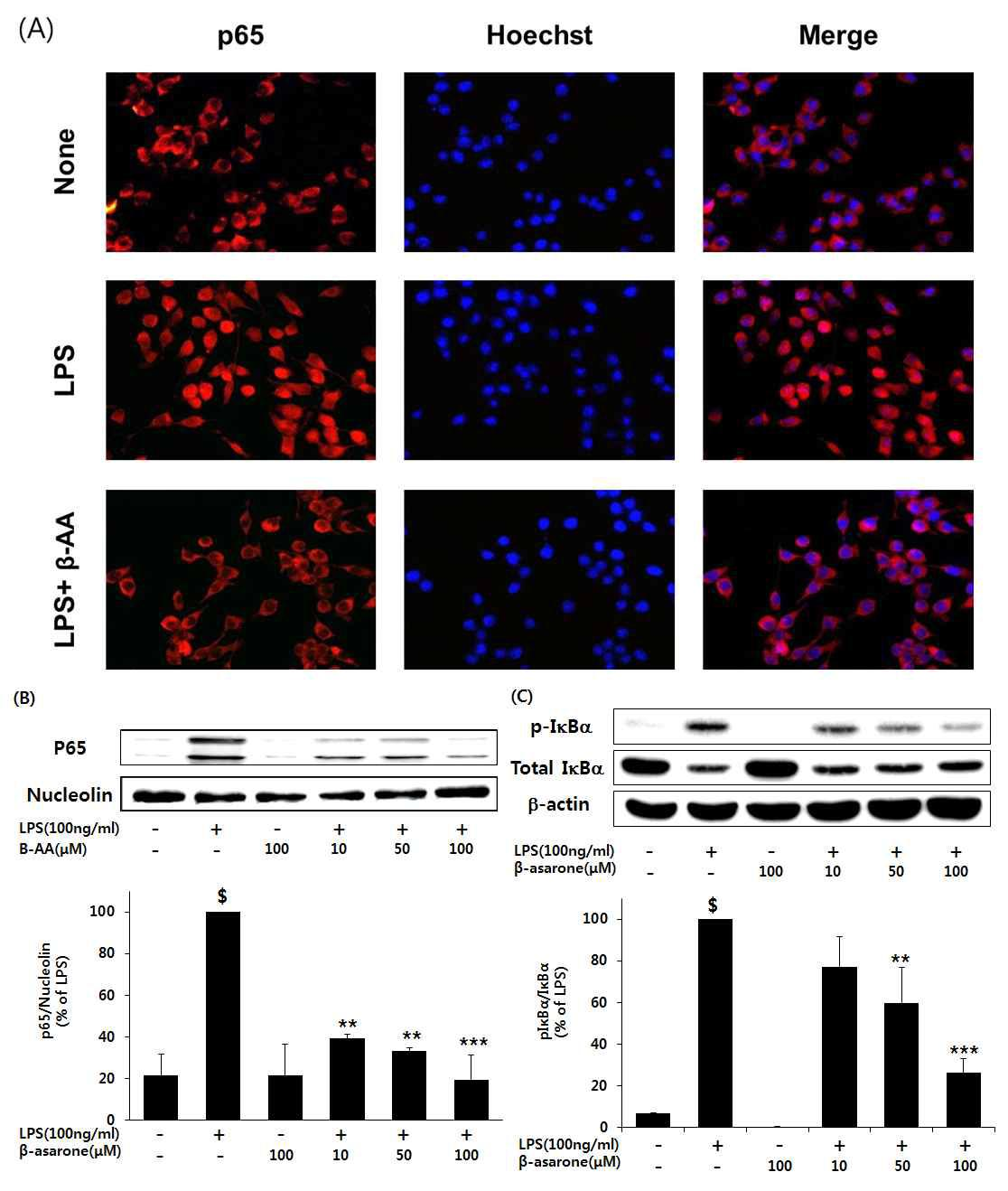 LPS로 자극된 BV-2 신경교세포에서 NF-κB 활성에 따른 β-asarone의 농도 의존적인저해효능.