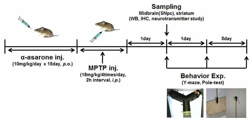 신경손상동물모델 제작 방법 및 α-asarone의 효능 실험 모식도