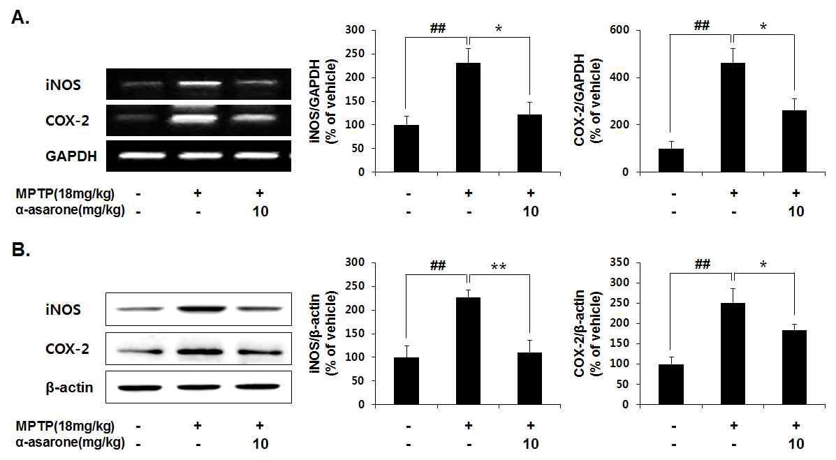 α-Asarone inhibited the expression of iNOS and COX-2
