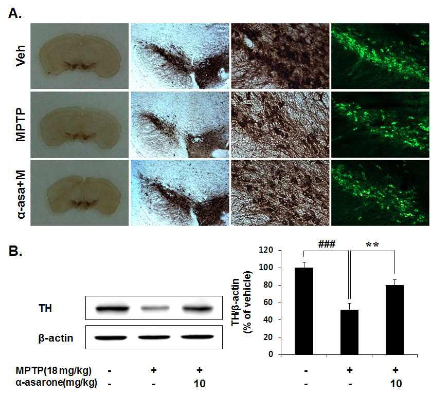 Protective effects of α-Asarone against MPTP