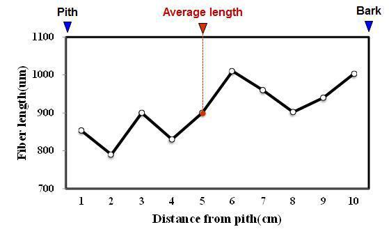 Rambutan 수종의 목섬유 길이 방사방향 변이.