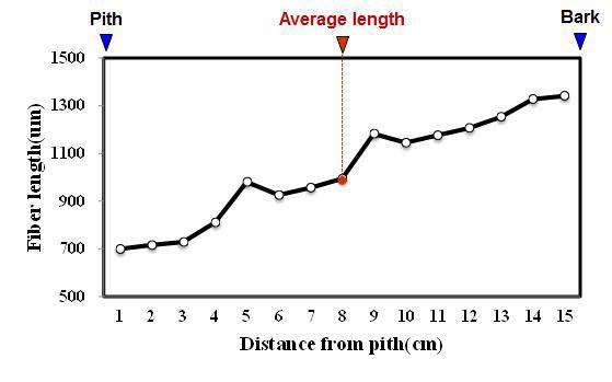 Sungkai 수종의 목섬유 길이 방사방향 변이.