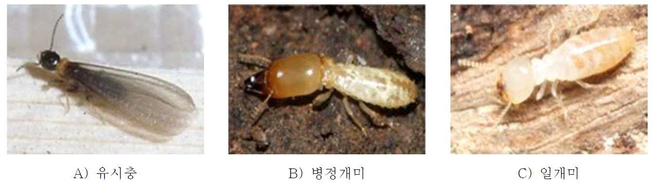 일본흰개미(Reticulitermes speratus)
