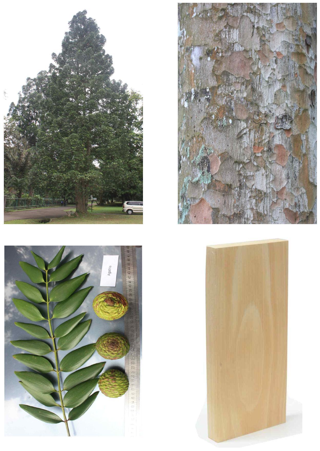 Agathis의 전체수형, 수피, 잎 및 재면.
