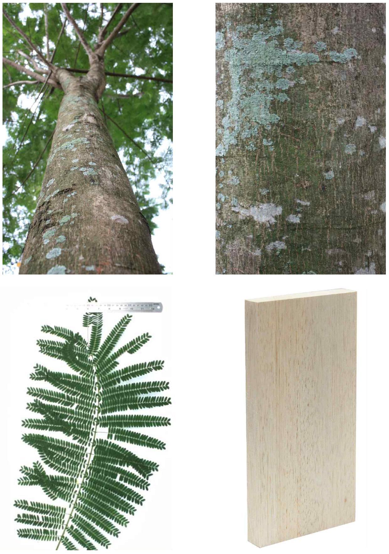 Albizia의 전체수형, 수피, 잎 및 재면.
