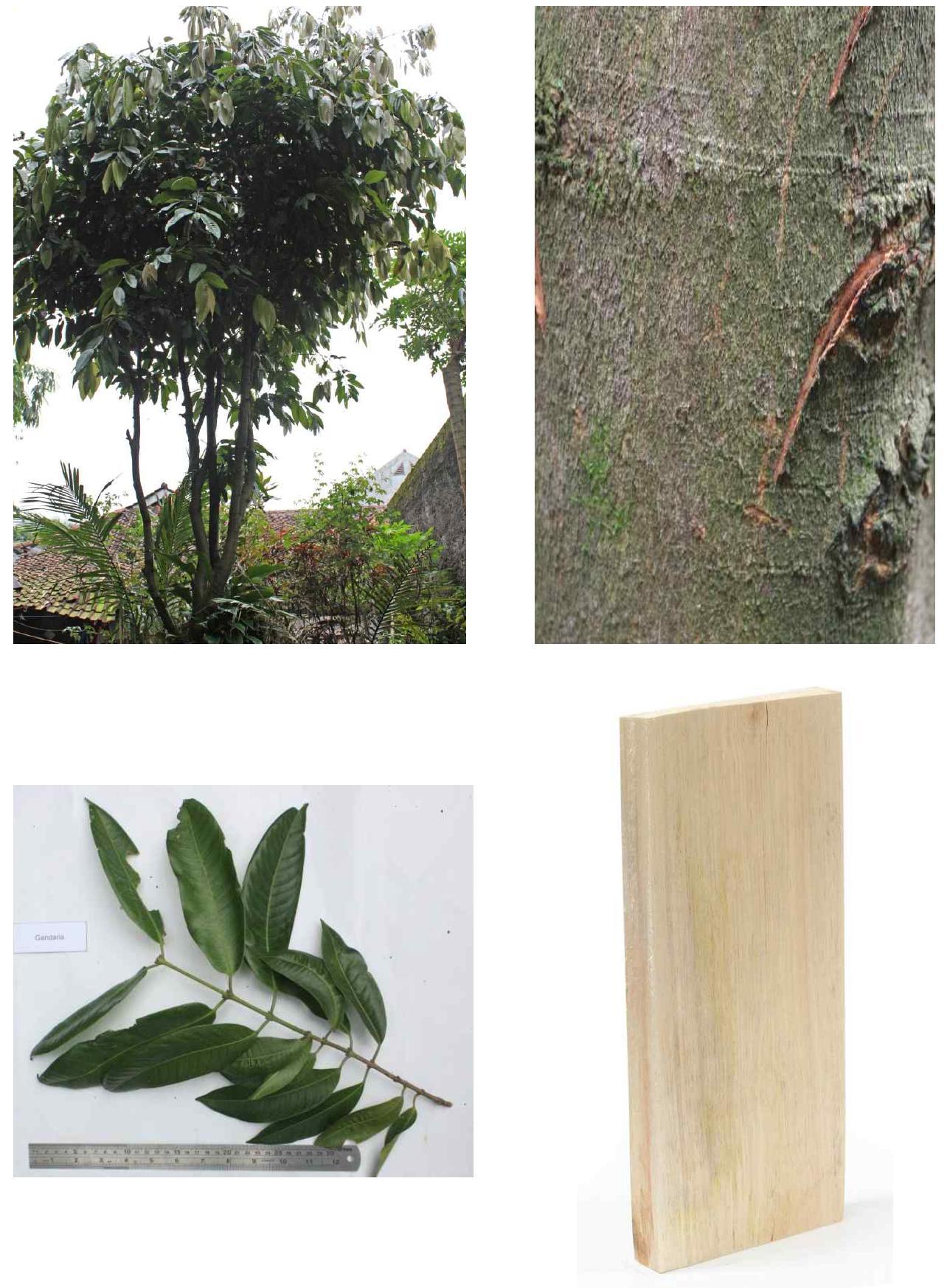 Gandaria의 전체수형, 수피, 잎 및 재면.