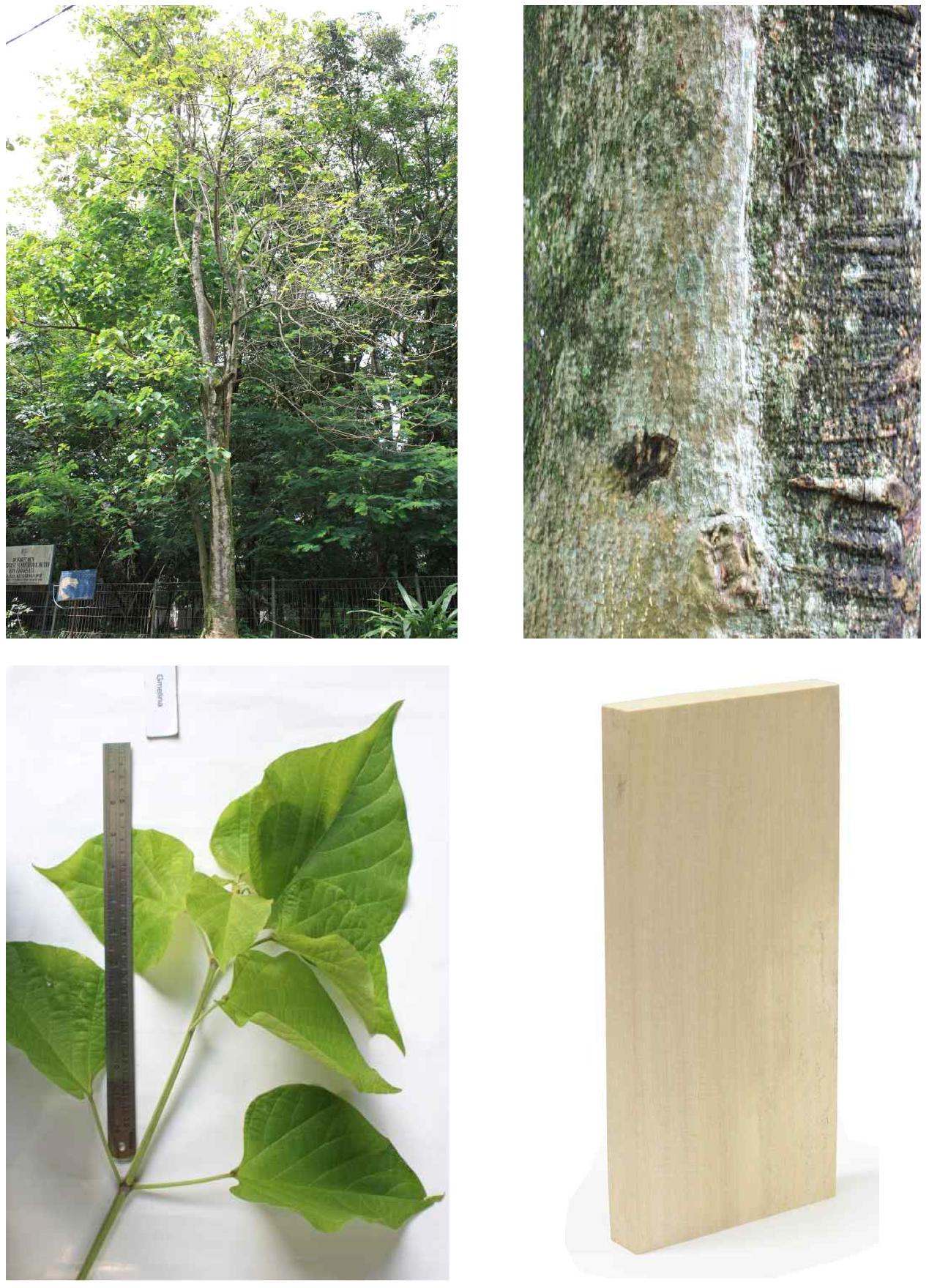Gmelina의 전체수형, 수피, 잎 및 재면.