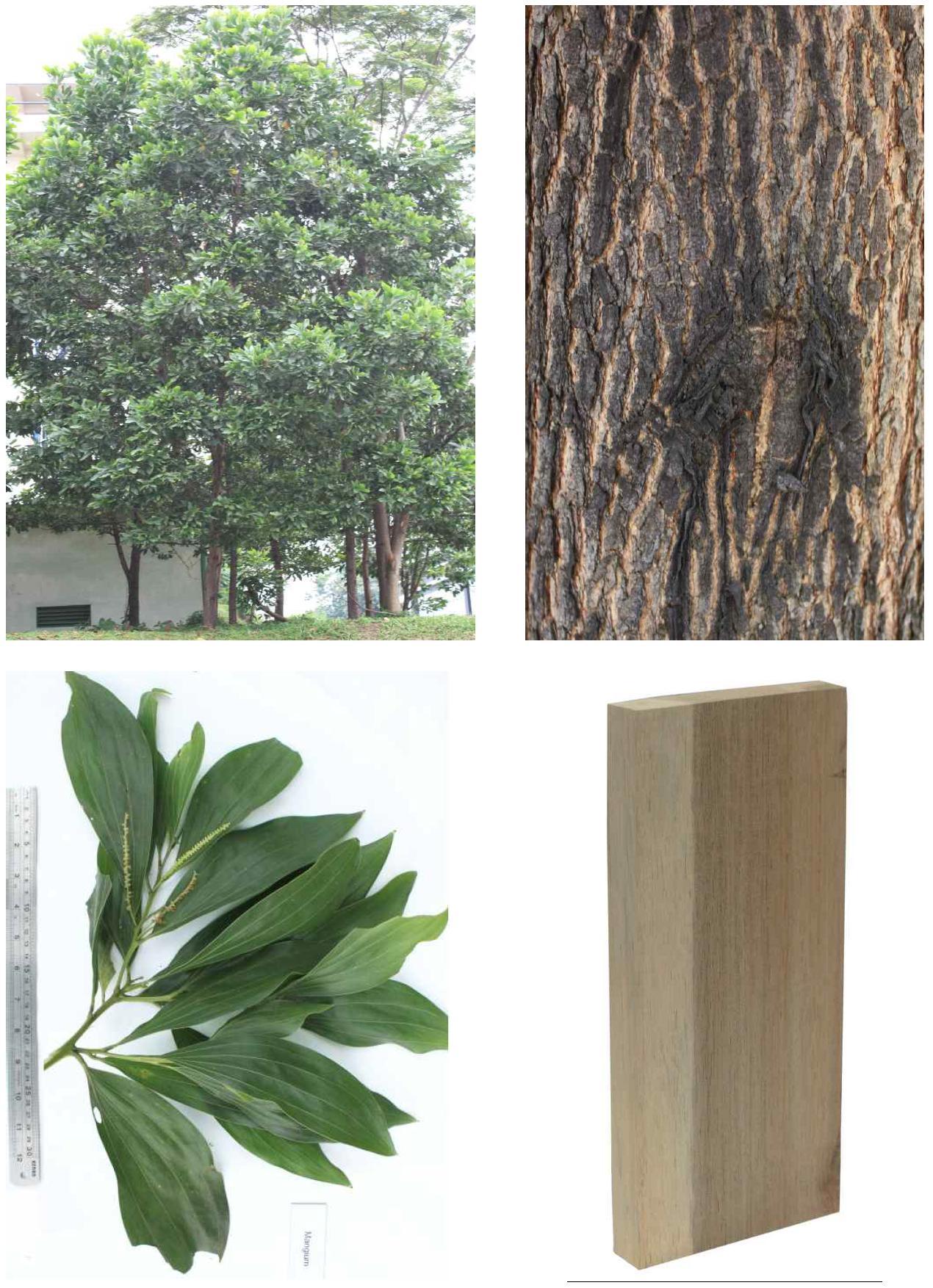 Mangium의 전체수형, 수피, 잎 및 재면.