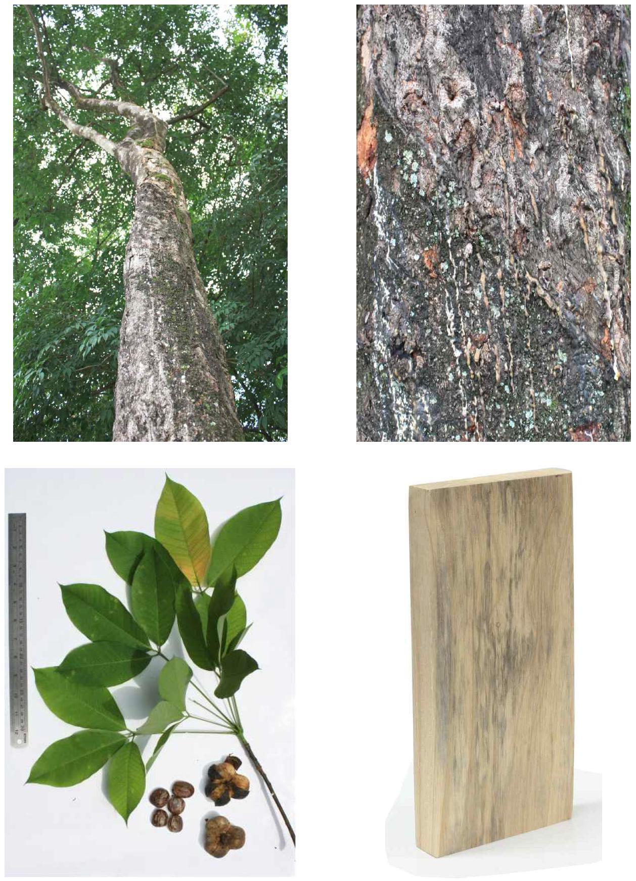 Rebber wood의 전체수형, 수피, 잎 및 재면.