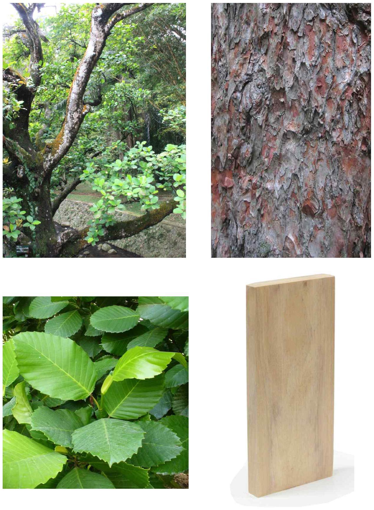 Simpur batu의 전체수형, 수피, 잎 및 재면.