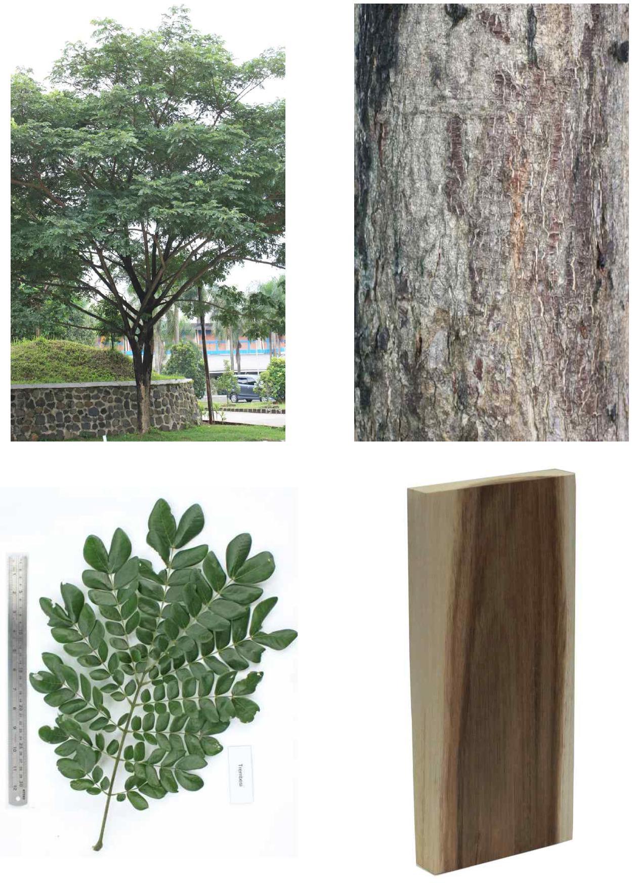 Trembesi의 전체수형, 수피, 잎 및 재면.
