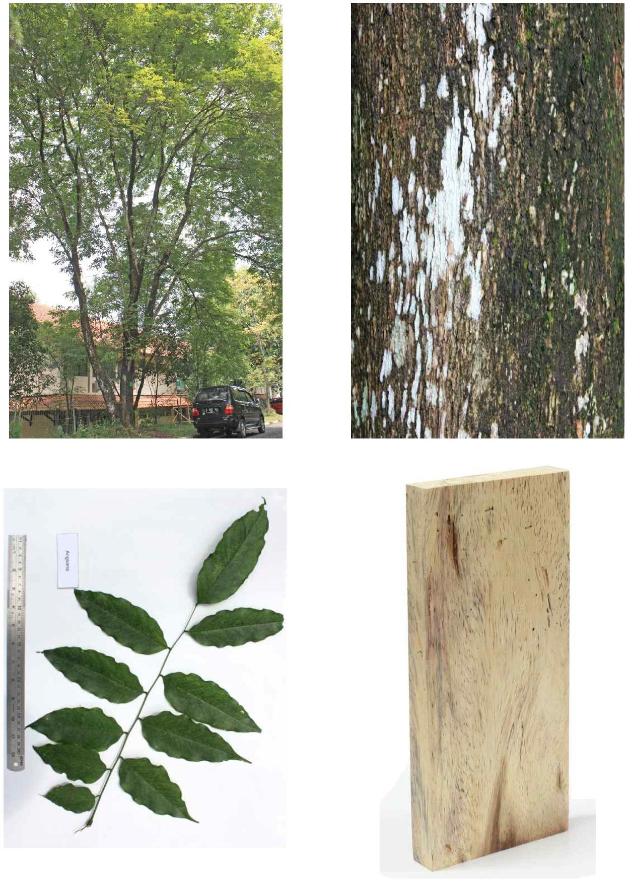 Angsana의 전체수형, 수피, 잎 및 재면.