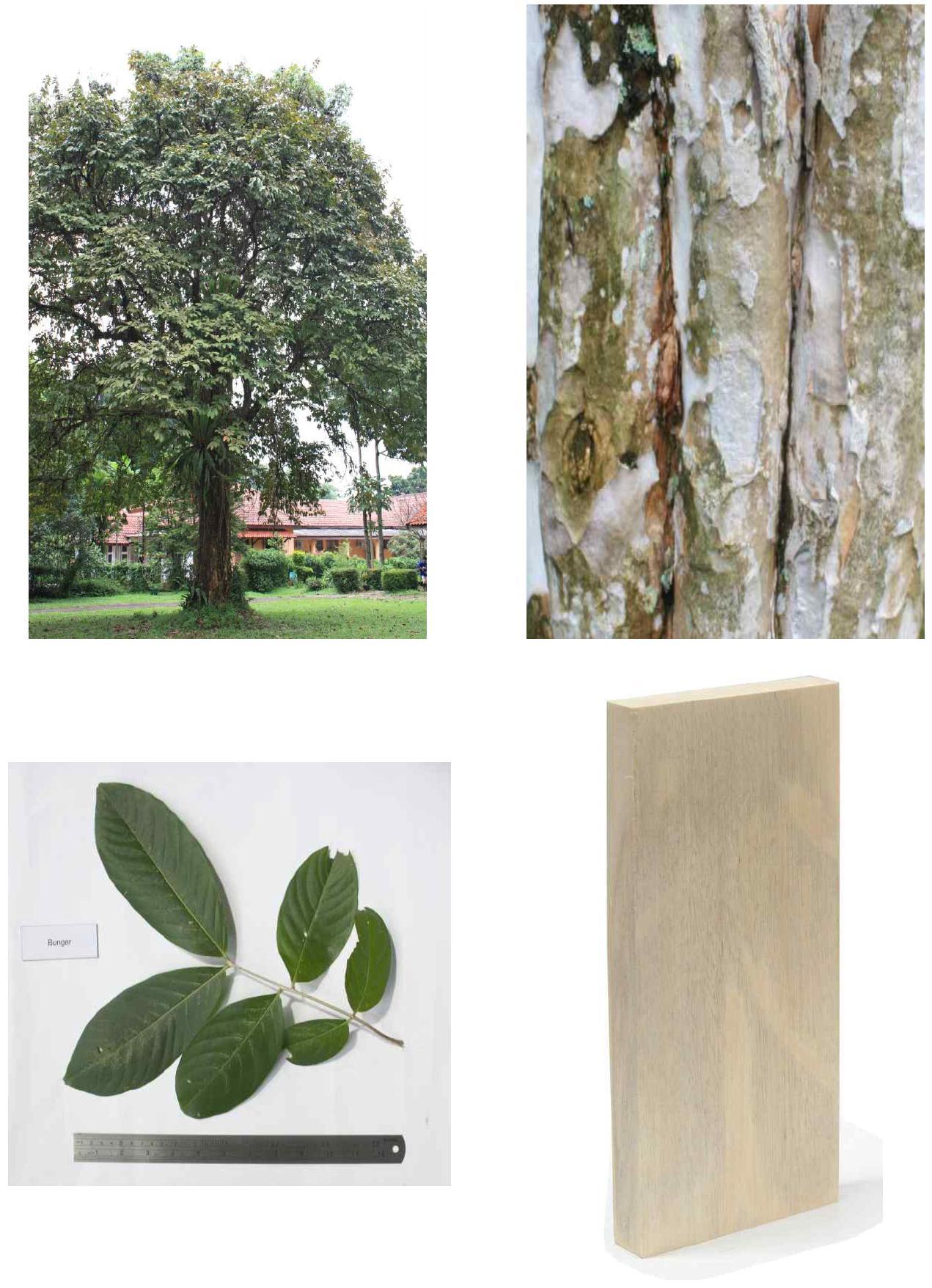 Bungur의 전체수형, 수피, 잎 및 재면.