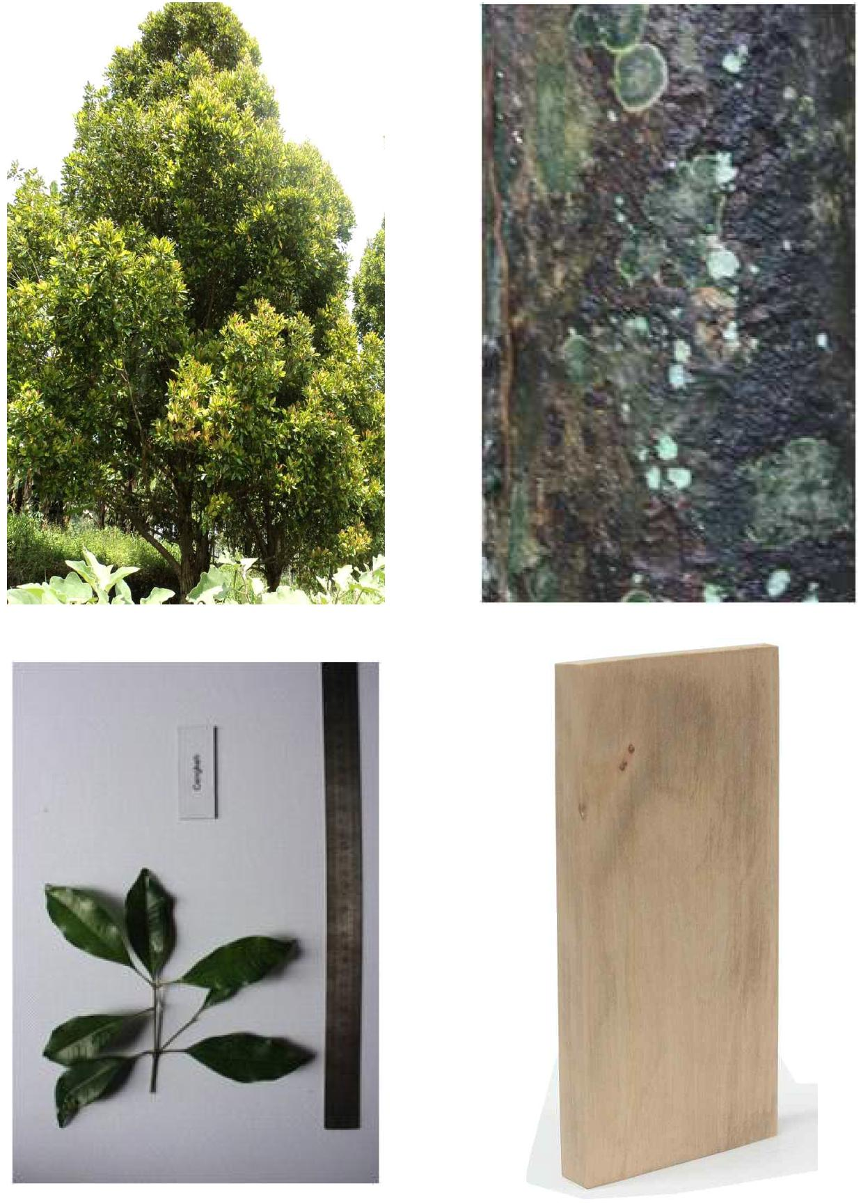 Cengkeh의 전체수형, 수피, 잎 및 재면.