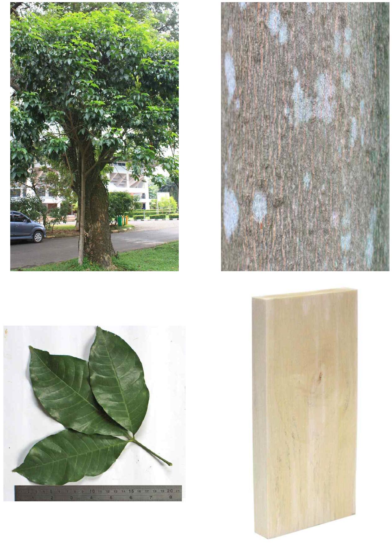Kisampang의 전체수형, 수피, 잎 및 재면.