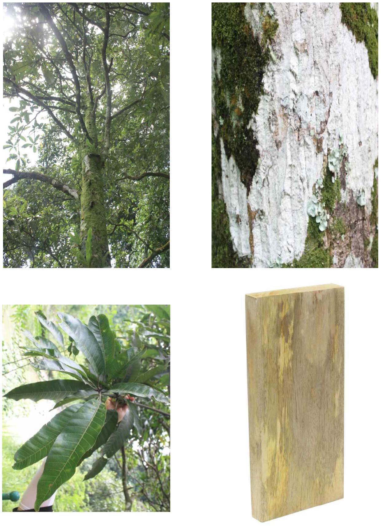 Mangga의 전체수형, 수피, 잎 및 재면.