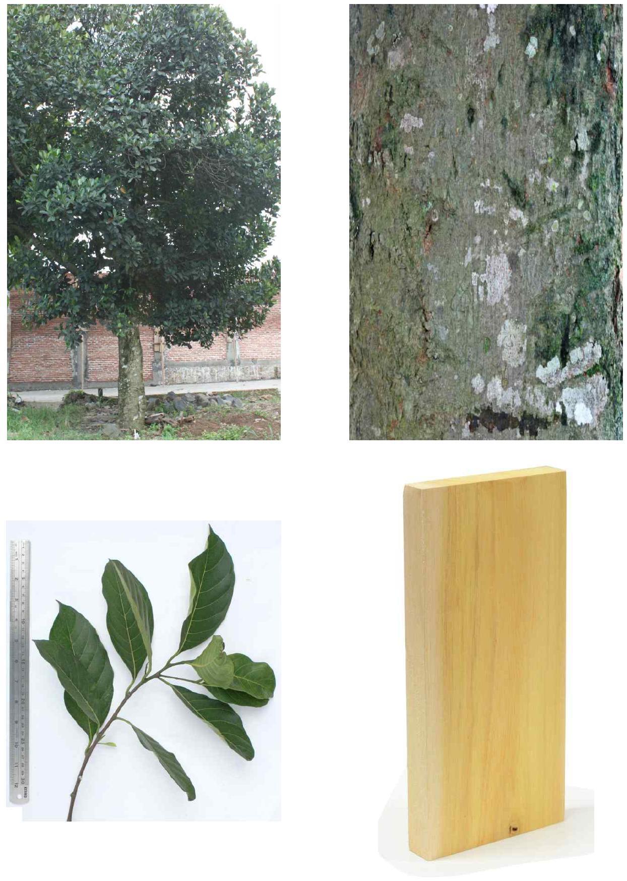 Nangka의 전체수형, 수피, 잎 및 재면.