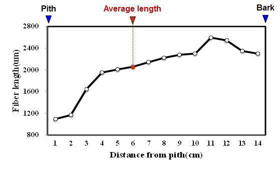 Agathis 수종의 가도관 길이 방사방향 변이.