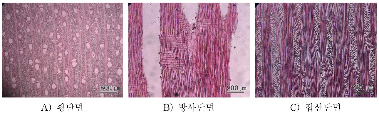 Gmelina 수종의 3단면.