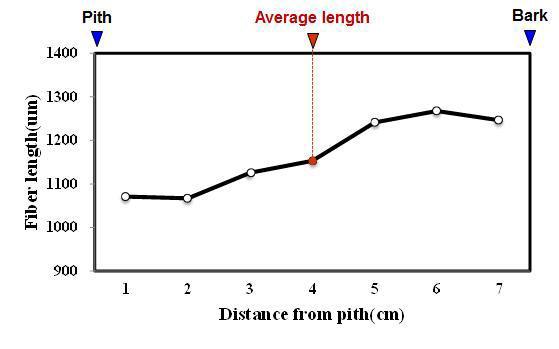 Rubber wood 수종의 목섬유 길이 방사방향 변이.
