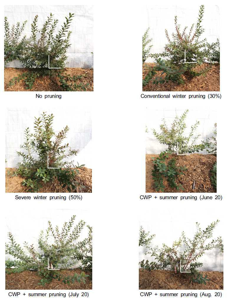 Growth and development of 'Misty' southern highbush blueberry by pruning treatment (Date of investigation: Nov. 7, 2013). CWP: conventional winter pruning. Scale bars: 30 cm