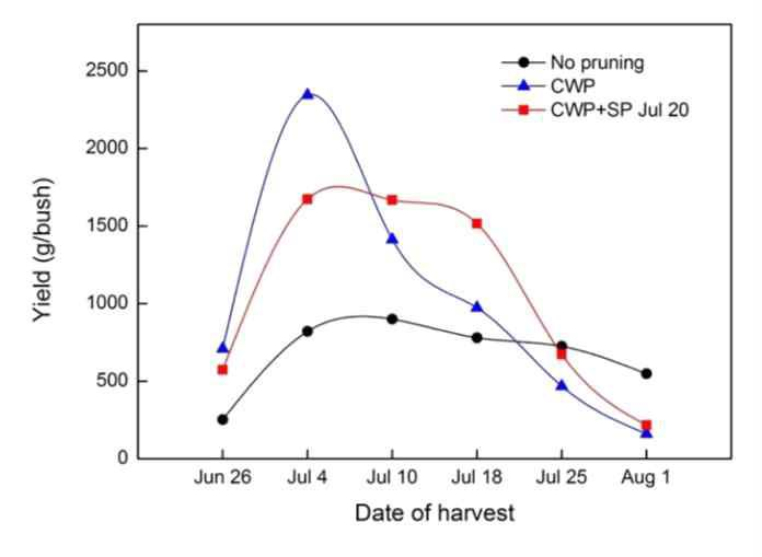Change in yields of 'Misty' southern highbush blueberry over the 2015 harvest season (CWP: conventional winter pruning, SWP: severe winter pruning, SP: summer pruning).
