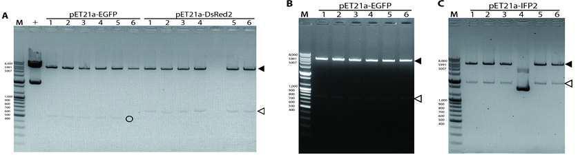 유전자 클로닝 후 DNA restriction enzyme을 이용하여 DNA electrophoresis를 통한 도입여부