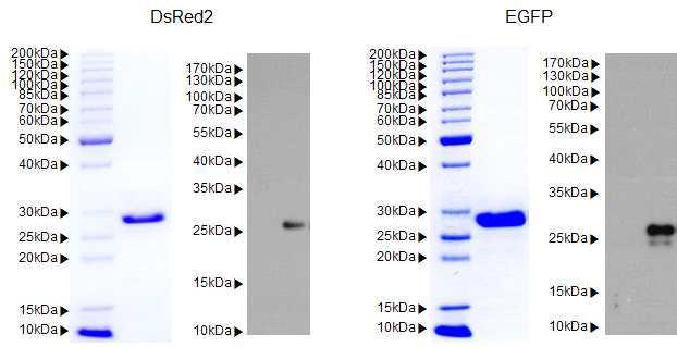 DsRed2, EGFP 단백질의 대량 정제 후 SDS-PAGE 및 Western blot을 통한 순도 및 크기 확인