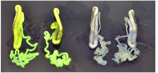 UV를 이용한 silk gland 형광 조사