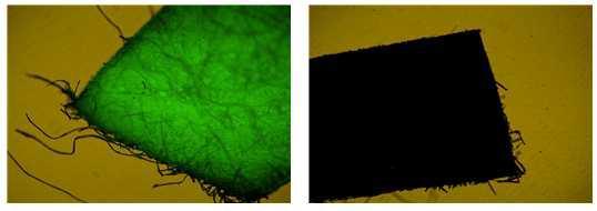GM 누에(오른쪽)와 non-GM 누에(왼쪽)의 eGFP 파장으로 본 silk 조각 사진.