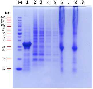 형광누에의 후부견사선으로부터 얻은 total 단백질의SDS-PAGE 사진.