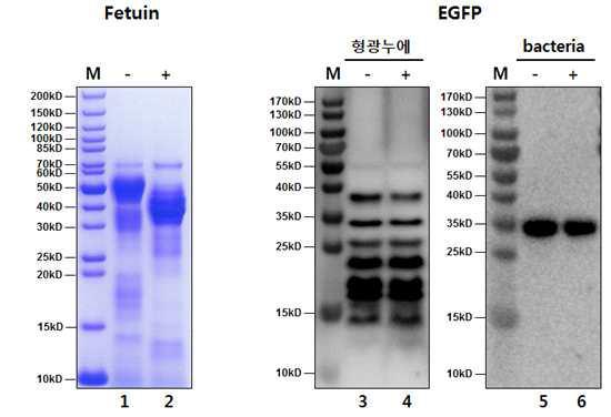 형광누에 도입단백질 번역 후 변이여부 분석