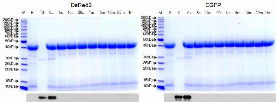 인공위액을 이용한 도입단백질 분해성 SDS-PAGE 및 Western blot 분석.