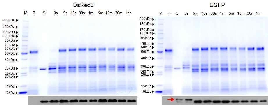 인공장액을 이용한 도입단백질 분해성 SDS-PAGE 및 Western blot 분석.