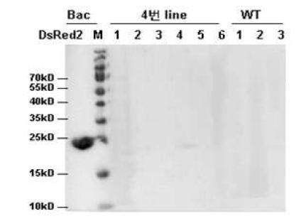 DsRed2 단백질 발현 분석